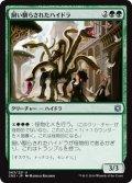 飼い馴らされたハイドラ/Domesticated Hydra (CN2)